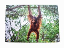 Endangered Animal Orangutan