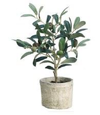 """Plant- Olive Tree, 12"""""""