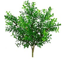 Boxwood Bush, 12""