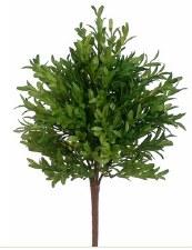 "Tea Leaf Bush, 15"""