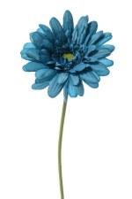"21.5"" Gerbera Daisy - Dark Turquoise"