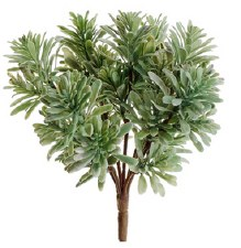 """Jade Plant Bush, 7"""""""