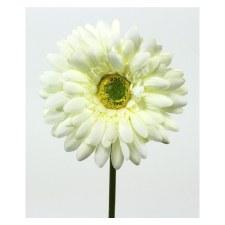 "Gerbera Daisy Stem, 18""- Cream"