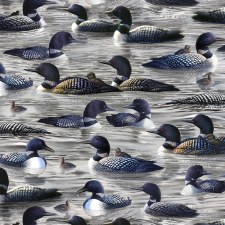 Loons Bolted Fabric- Loons, Gray