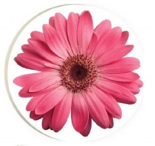Car Coaster- Pink Daisy