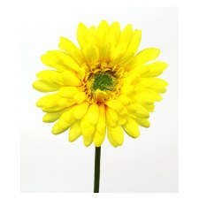 """Gerbera Daisy Stem, 18""""- Yellow"""