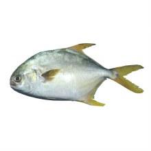 Golden Pompano Fish per lb