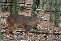 Nice Targets Deer Broadside Rt