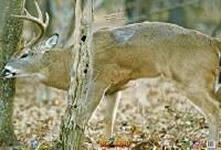 Nice Targets Front Tree Buck