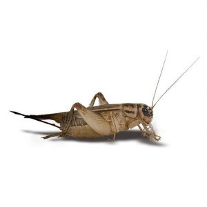 Bug Co Bulk Live Cricket