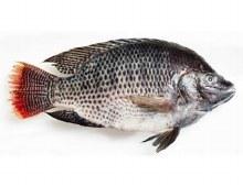 Tilapia Whole Fish