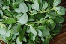 Verdolagas Herbs