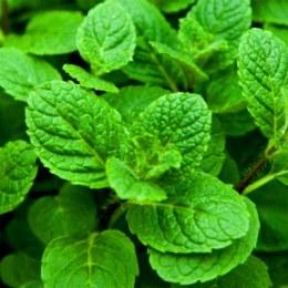 Herb Mint Bunch