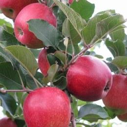 Apple Azana Kilo Buy 1kg