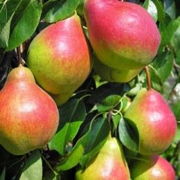 Pears Corella 500gm