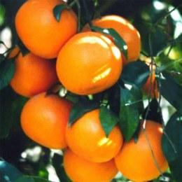 Mandarins Daisy 500gm