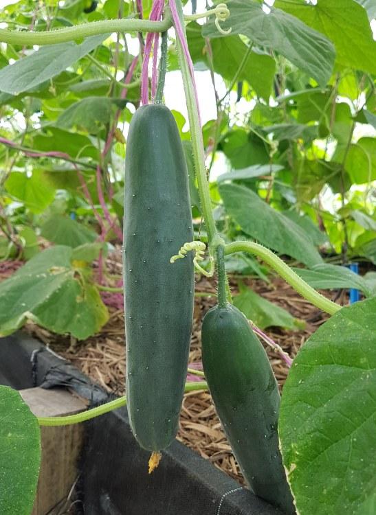 Cucumber Green 500gm
