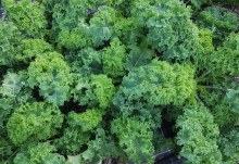 Kale Green/Curly Bunch