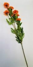 Marigold Branch
