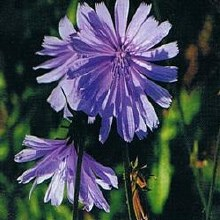 Chicory Bach Flower Remedy