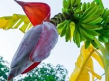 Banana Flower /lb