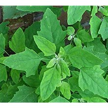 Fresh Bathu Leaves