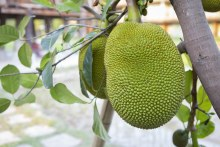 Green Jackfruit /lb