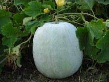 Pumpkin White /lb