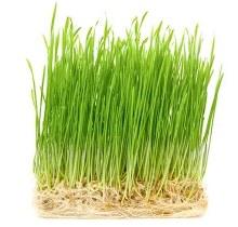 Wheat Grass 100g Bag
