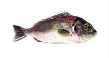 Dd Silver Belly Fish 2lb