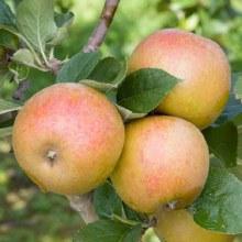 Apples, Asmeads Kernel - Lb