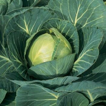 Cabbage, Green, OG
