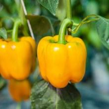 Pepper,Orang,Red&Yellow,GrnOG
