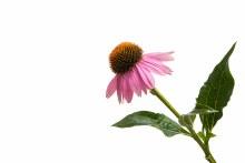 Echinacea Whole Plant