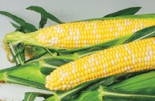 Corn Yellow  EA