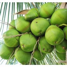 Coconut Green