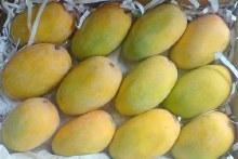 Kesar Mango LB