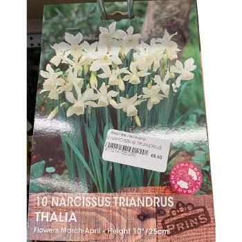 10 NARCISSUS TRIANDRUS THAILIA