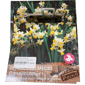 25 NARCISSUS SPECIES CANALICUL
