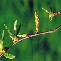Dr Bach Hornbeam Bach Flower Remedy 10ml