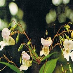 Dr Bach Impatiens Bach Flower Remedy 10ml