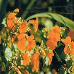 Dr Bach Mimulus Bach Flower Remedy 10ml
