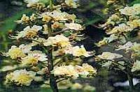 Dr Bach White Chestnut Bach Flower Rem 10ml