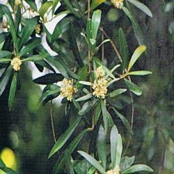 Dr Bach Olive Bach Flower Remedy 10ml