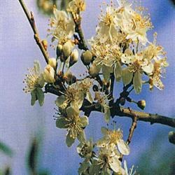 Dr Bach Cherry Plum Bach Flower Remedy 10ml