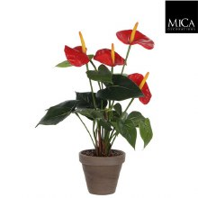 ANTHURIUM H40D30 RED IN POT ST