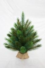 Royal Oregon Tree 30cm