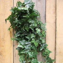 54'' English Ivy Hanging Bush x 11 w/280 lvs