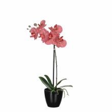 Phalaenopsis red in plastic po