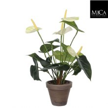 ANTHURIUM H40D30 WHITE IN POT